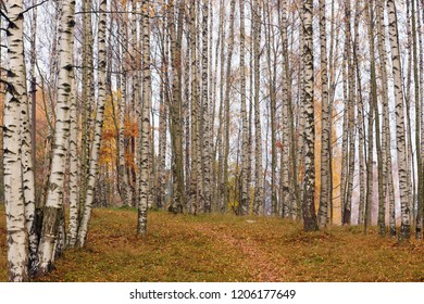Birchwood in the fall, trunks of white and black trees and a path leading through the fallen leaves