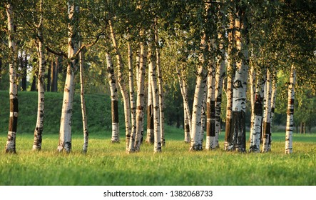 birchwood  landscape with the sun and shades in a