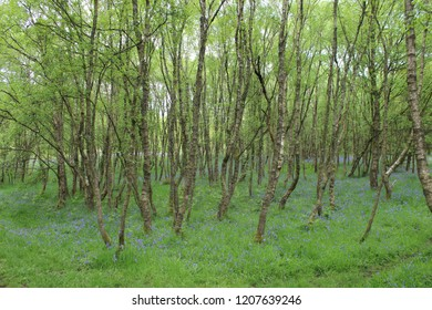 Birchwood in the middle of purple flowers