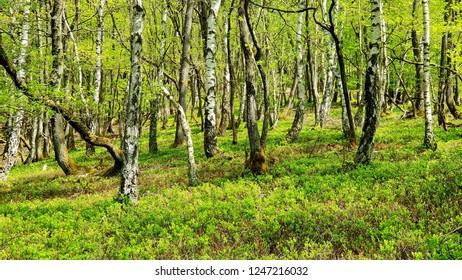 Birchwood in spring - hunsrueck, germany
