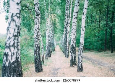 birchwood in summer birch