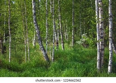 Birchwood in the summer, Russia
