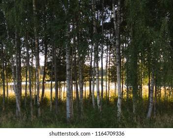 Birchwood a swedish summer evening