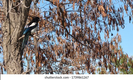 Bird alone on a branch   Crow , Magpie , Eurasian Magpie . animal . bird . crow . wildlife . wild nature Magpie on the tree in autumn on cloudy sky background. Beautiful bird in nature. animal
