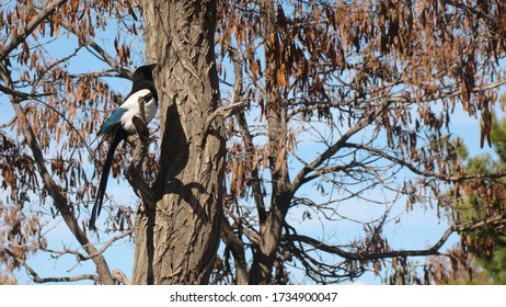 Bird alone on the tree. Crow Bird alone on a branch. This crow is called Eurasian Magpie . animal . bird . crow . wildlife . wild nature