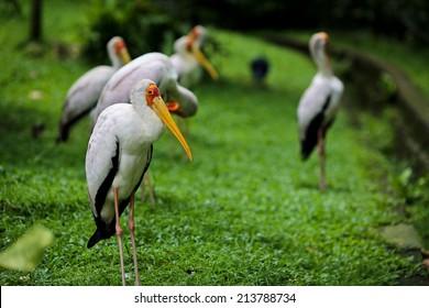 Bird : American White Pelican