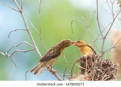 Bird (Asian Golden Weaver) breeding male is generally bright yellow with a black mask. Females, non-breeding males are dull coloured and feeding to baby bird at bird nest on a tree in the nature wild