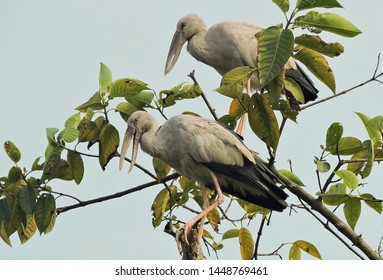 Bird - The Asian openbill or Asian openbill stork (Anastomus oscitans) is a large wading bird in the stork family Ciconiidae. Location - Manas National Park, Assam, India.