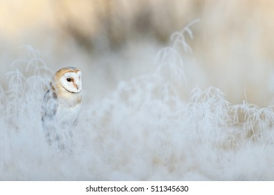 Bird Barn Owl, Tyto alba, sitting on the rime white grass in the morning. Wildlife bird scene from nature. Cold winter with bird.