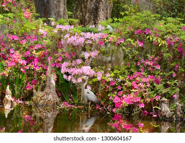 Bird in beautiful garden. Azaleas flowers blooming on a spring morning in the garden. Great Blue Heron, by the lake. Magnolia Plantation and Gardens, Charleston, South Carolina, USA.