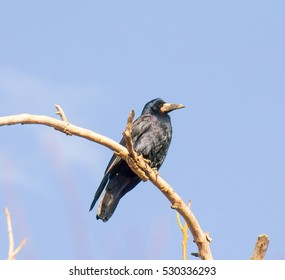 bird black crow on a dry branch on a background of blue sky