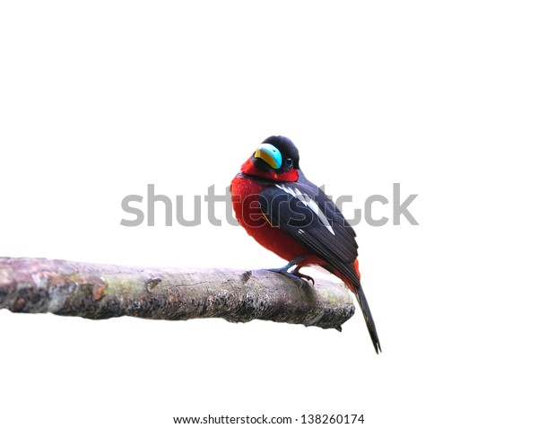Bird (Black-and-Red Broadbill) , Thailand on isolated on white background