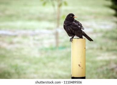 bird blackbird perched on a post