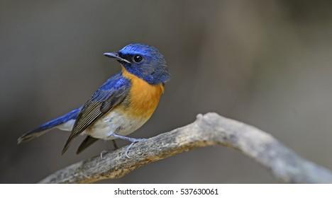 Bird, Blue bird, male Blue-throated Flycatcher (Cyornis rubeculoides) on a branch,Beautiful of blue bird