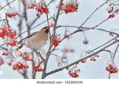 Bird Bohemian waxwing (Bombycilla garrulus) feeding on rowan branch. Close-up portrait of beautiful bird with ash berry in beak. Festive Christmas animal concept, decoration of New year greeting.