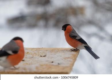 bird bullfinch pecks sunflower seeds in winter