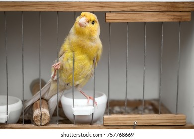 a bird in a cage, a yellow canary