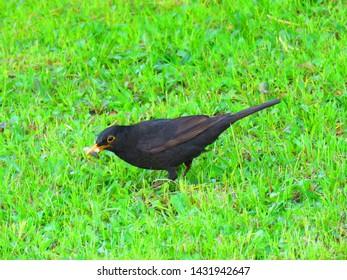 bird callde common blackbird, eurasian blackbird,