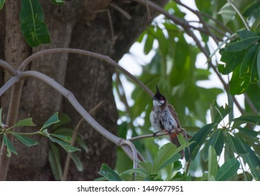The Bird Called Red-Whiskered Bulbul or Pycnonotus jocosus on The Tree
