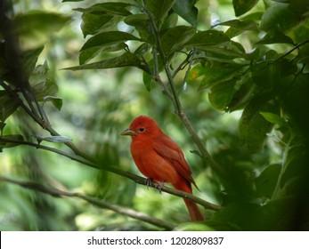 Bird Cardinal RedBird