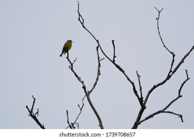 A bird (Carduelis chloris) sitting alone on the naked branch of the tree with a gray sky in the background.