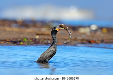 Bird catch fish. Cormorant with fish. Dark bird in nature habitat, in blue sea water. River bird in the nature habitat. Shag from Costa Rica. Animal behaviour near the tropic river.