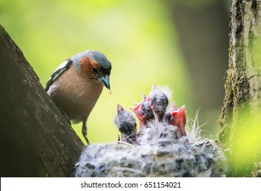 bird Chaffinch feeds its young hungry Chicks in the nest in the spring in the Park