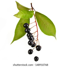 bird cherry branch with berries close up isolated on a white background