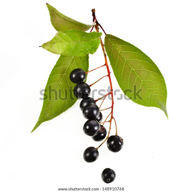 Bird Cherry Branch Berries Close Isolated Stock Photo Edit