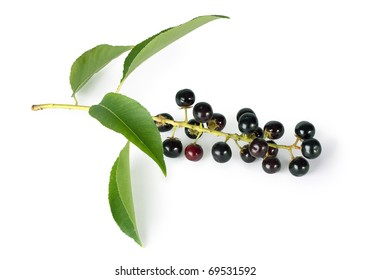 bird cherry branch with berries isolated on a white background