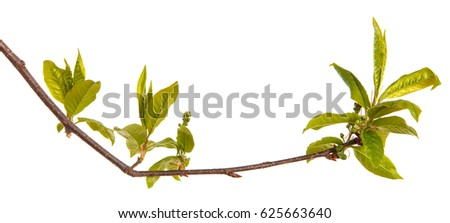 Bird Cherry Branch Young Green Leaves Stock Photo Edit Now