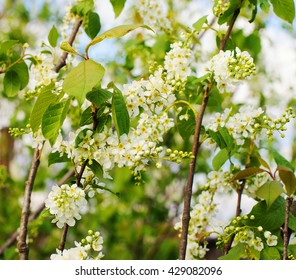 Bird cherry closeup. Bird-cherry tree in spring.