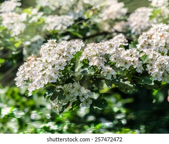 Bird cherry closeup with selective focus and shallow depth of field. Focus is on the central part of the image./ Bird-cherry tree