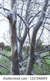Bird cherry ermine tree web