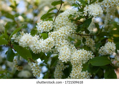 bird cherry flowers on a tree with leaves