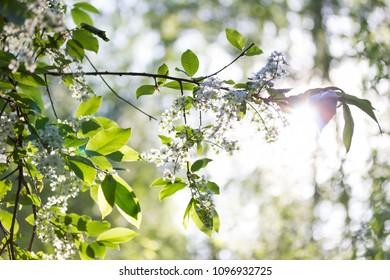 Bird cherry tree branch with white flowers and beautiful sunlight