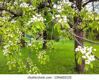 Bird cherry tree flowers in spring blooming. Bloosom bird cherry tree flowers. Spring bird cherry tree flowers blooming. Bird cherry tree flowers bloom scene in spring