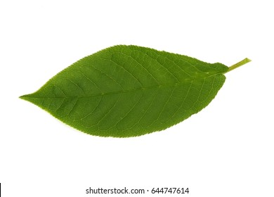 Bird cherry tree leaves on a white background in various angles