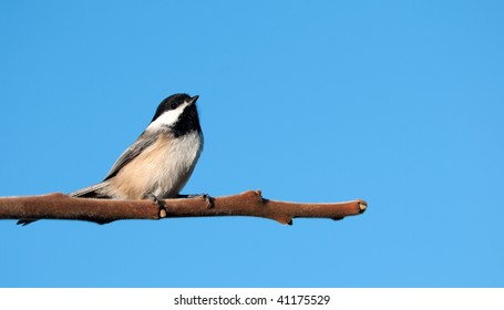 Bird. Chickadee perched on a branch in the sunshine.