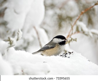 Bird, Chickadee with a sunflower seed in the snow on a bleak winter day.