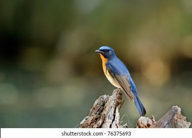 Bird  (Chinese Blue Flycatcher) , Thailand