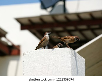 Bird in the City. Eurasian tree sparrows (Passer montanus) on a column with a part of residential building in Bangkok, Thailand.