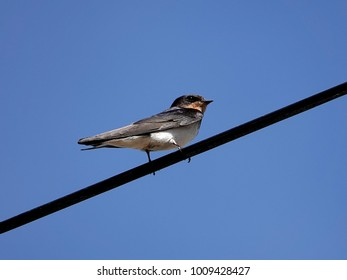 Bird in the City. Pacific swallow (Hirundo tahitica) perched on power line with blue sky background in Thailand.