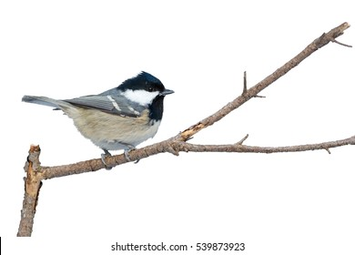 Bird Coal Tit on the branch, isolated. White background can easily be made transparent