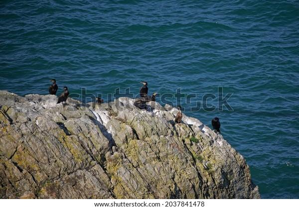 Bird colony of Great Cormorant (Phalacrocorax carbo) on the rocks off the coast of Ireland. Dark blue water of the Irish Sea in the background.