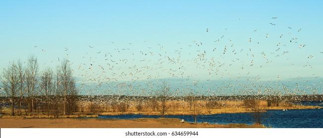 The bird colony on lake Sestroretsk Rift. The black-headed gull