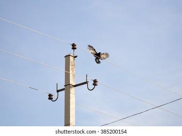 bird crow on electric pole