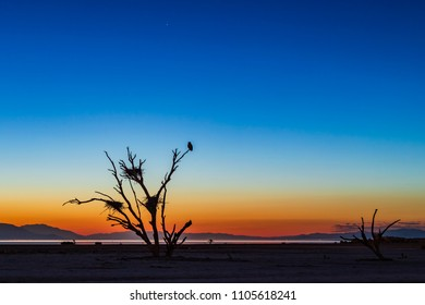 Bird In A Dead Tree During Twilight At The Salton Sea. This area was once under water, but the sea is now rapidly drying up due to changes in water apportionments agreed upon for the Colorado River.