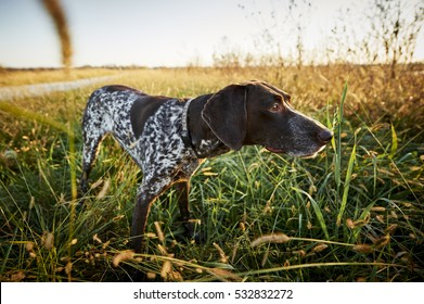 a bird dog hunting and pointing in a field