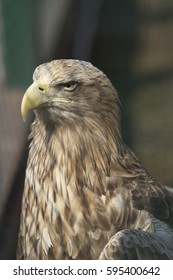 Bird an eagle, close up, sitting on the stand.Zoo in Nizhny Novgorod. Spring. Russia.